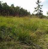 Subalpínské vysokostébelné trávníky <i>(Calamagrostion villosae)</i>