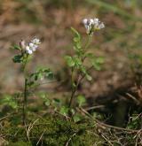 řeřišnice rýtolistá <i>(Cardamine resedifolia)</i> / Habitus