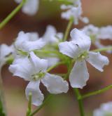 řeřišnice trojlistá <i>(Cardamine trifolia)</i> / Květ/Květenství