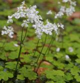 řeřišnice trojlistá <i>(Cardamine trifolia)</i> / Habitus