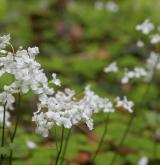 řeřišnice trojlistá <i>(Cardamine trifolia)</i>