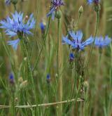 chrpa modrá  <i>(Centaurea cyanus)</i> / Habitus