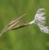 hvozdík pyšný <i>(Dianthus superbus)</i> / Květ/Květenství