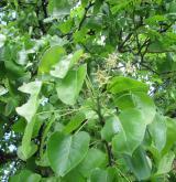 hrušeň polnička <i>(Pyrus pyraster)</i> / Větve a pupeny