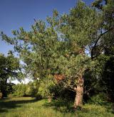 borovice ohebná <i>(Pinus flexilis)</i> / Habitus