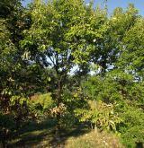 dub cizí <i>(Quercus aliena)</i> / Habitus