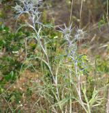 máčka plocholistá  <i>(Eryngium planum)</i> / Habitus