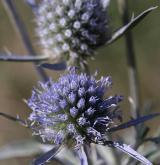 máčka plocholistá  <i>(Eryngium planum)</i> / Květ/Květenství