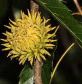 dub nejšpičatější <i>(Quercus acutissima)</i> / Plod