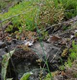 česnek žlutý <i>(Allium flavum)</i> / Habitus