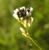 huseník chlupatý <i>(Arabis hirsuta)</i> / Květ/Květenství