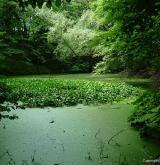 ďáblík bahenní <i>(Calla palustris)</i> / Porost