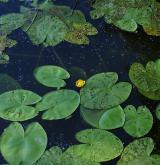 Vegetace mohutných vzplývavých vodních rostlin <i>(Nymphaeion albae)</i> / Porost