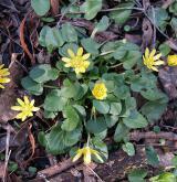 orsej blatoucholistý <i>(Ficaria calthifolia)</i> / Habitus