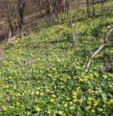 orsej blatoucholistý <i>(Ficaria calthifolia)</i> / Porost