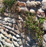 Nitrofilní vegetace zdí <i>(Cymbalario muralis-Asplenion)</i> / Porost