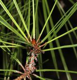 borovice hustokvětá <i>(Pinus densiflora)</i> / List