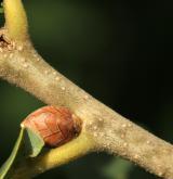 dub Hartwissův <i>(Quercus hartwissiana)</i> / Větve a pupeny