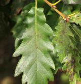 dub gruzínský <i>(Quercus iberica)</i> / List