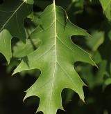 dub červený <i>(Quercus rubra)</i> / List