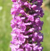 pětiprstka hustokvětá <i>(Gymnadenia densiflora)</i> / Květ/Květenství