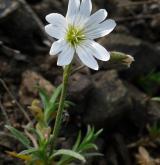 rožec rolní <i>(Cerastium arvense)</i> / Habitus