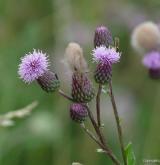pcháč oset <i>(Cirsium arvense)</i> / Květ/Květenství