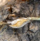 česnek kulatohlavý <i>(Allium sphaerocephalon)</i> / Zásobní orgán/orgán klonálního růstu