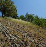 Podhorská acidofilní vegetace mělkých půd <i>(Hyperico perforati-Scleranthion perennis)</i> / Porost