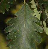 dub velkokvětý <i>(Quercus macranthera)</i> / List