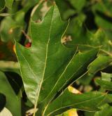 dub cesmínolistý <i>(Quercus ilicifolia)</i> / List