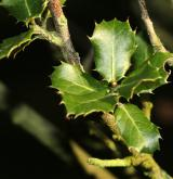 dub  <i>(Quercus calliprinos)</i> / List