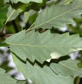 dub kaštanolistý <i>(Quercus castaneifolia)</i> / List