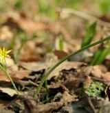 křivatec žlutý <i>(Gagea lutea)</i> / Habitus