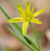 křivatec žlutý <i>(Gagea lutea)</i> / Květ/Květenství