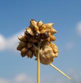 česnek viničný <i>(Allium vineale)</i> / Květ/Květenství
