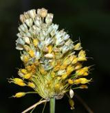 česnek žlutý <i>(Allium flavum)</i> / Květ/Květenství