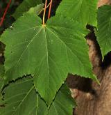 javor modrošedý <i>(Acer caesium)</i> / List