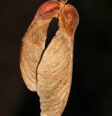 javor Trautvetterův <i>(Acer trautvetterii)</i> / Plod