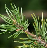borovice Banksova <i>(Pinus banksiana)</i> / List