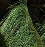 borovice bhútánská <i>(Pinus bhutanica)</i> / List