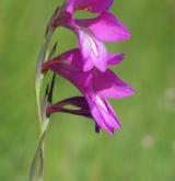 mečík bahenní <i>(Gladiolus palustris)</i> / Květ/Květenství