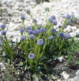 koulenka prodloužená <i>(Globularia bisnagarica)</i> / Habitus