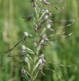 jazýček jadranský <i>(Himantoglossum adriaticum)</i> / Květ/Květenství