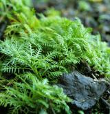 žebratka bahenní <i>(Hottonia palustris)</i> / Habitus