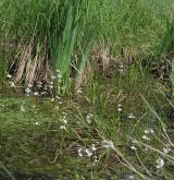 žebratka bahenní <i>(Hottonia palustris)</i> / Porost