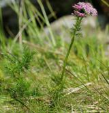koprníček bezobalný <i>(Ligusticum mutellina)</i> / List