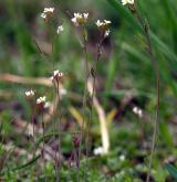 huseníček rolní <i>(Arabidopsis thaliana)</i> / Habitus