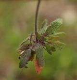 huseníček rolní <i>(Arabidopsis thaliana)</i> / List