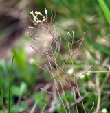 huseníček rolní <i>(Arabidopsis thaliana)</i> / Plod